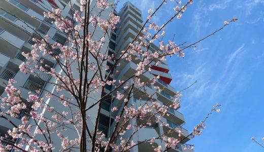 【六甲アイランドの桜2020】ウエストコート6番街|オオカンザクラ(大寒桜)