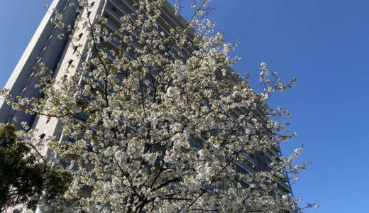 【六甲アイランドの桜2020】神戸女子学生会館|オオシマザクラ(大島桜)