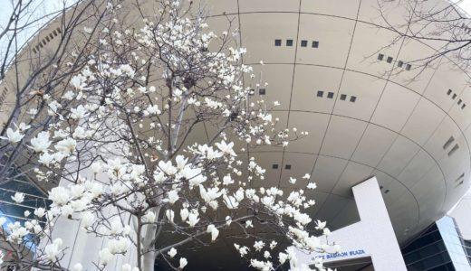 【六甲アイランドの花2020】神戸ファッションプラザ|モクレン(木蓮)