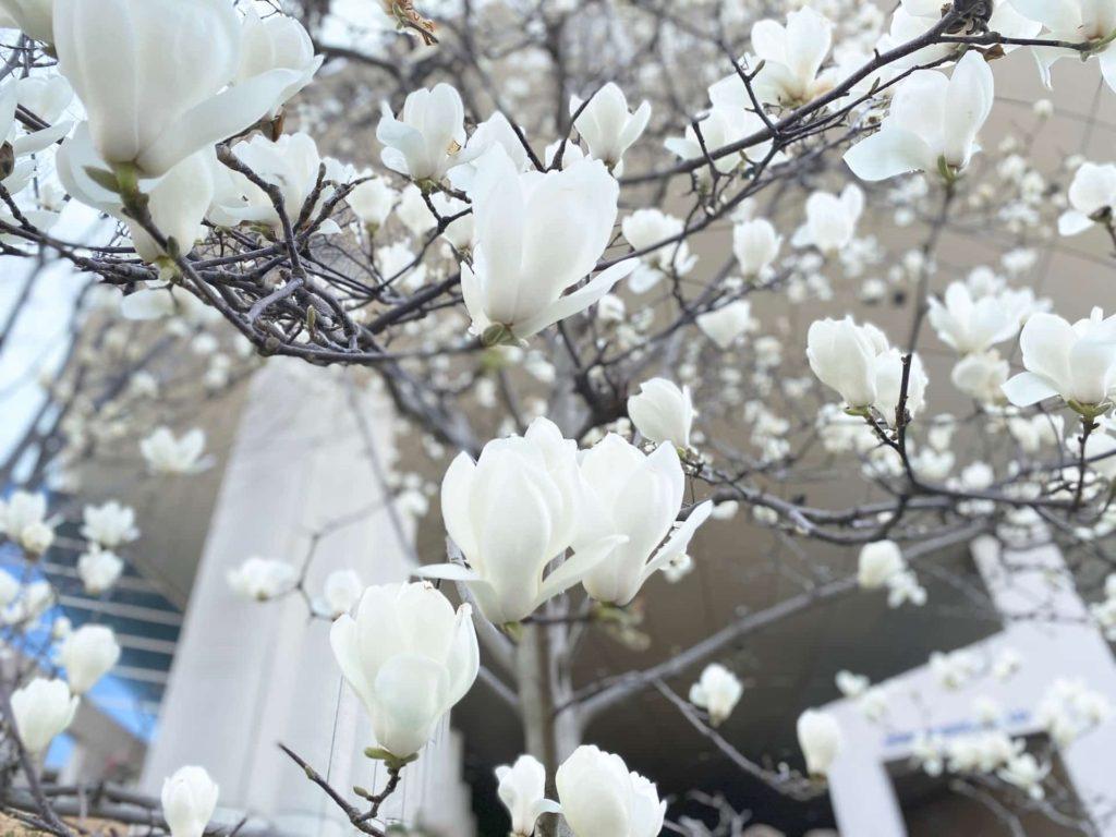 六甲アイランド 六アイ 神戸ファッションプラザ 花 木蓮 モクレン