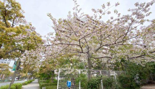 【六甲アイランドの桜2020】光の子認定こども園(光の子保育園)|ソメイヨシノ(染井吉野)