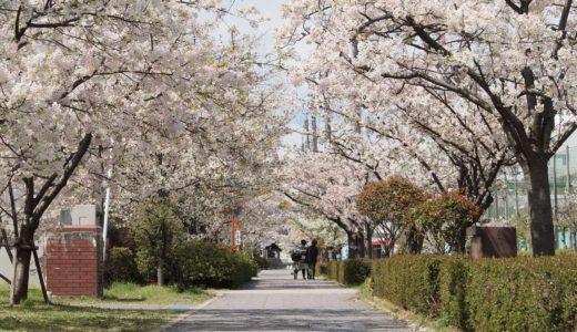 【六甲アイランドの桜2020】向洋中央通り|オオシマザクラ(大島桜)ほか