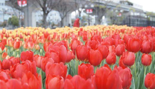 【六甲アイランドの花2020】チューリップ畑|イベント広場・芝生広場向かい