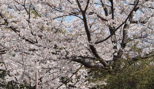 【六甲アイランドの桜2020】小磯記念美術館隣・六甲アイランド公園|ソメイヨシノ