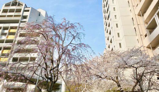 【六甲アイランドの桜2020】イーストコート4番街|シダレザクラ(枝垂れ桜)