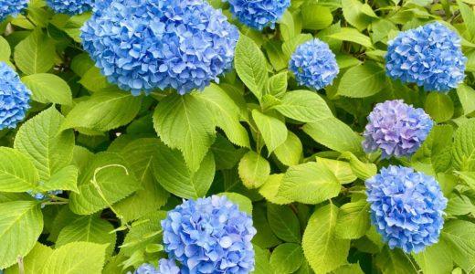 【あじさい2020】神戸・六甲アイランドのあじさいMAP|場所・地図・花の様子